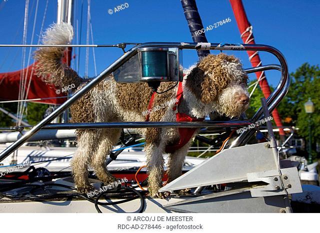 Perro de Agua Espanol, on boat, Zeeland, Netherlands / Spanish Water Dog