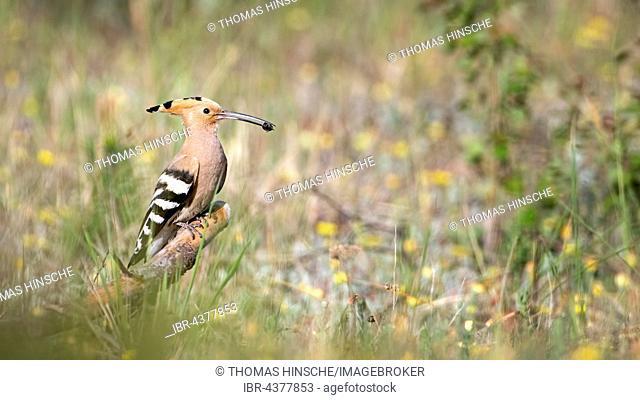 Hoopoe (Upupa epops) with prey in beak, foraging, Saxony-Anhalt, Germany