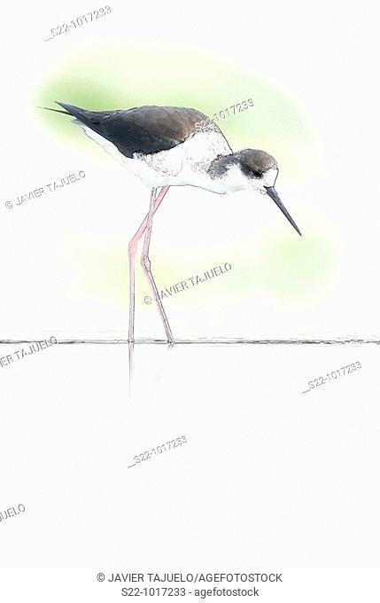 Black-winged Stilt, Himantopus himantopus