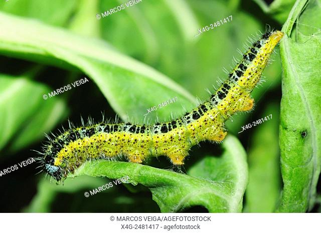 Caterpillar of the large cabbage white butterfly (Pieris brassicae)