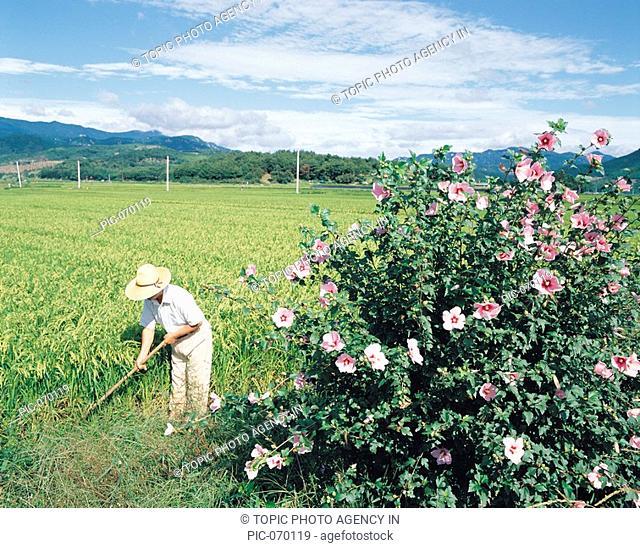 Farmer In Rice Field,Gyeongnam,Korea