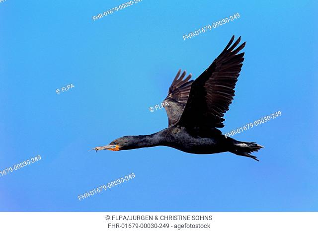 Cape Cormorant (Phalacrocorax capensis) adult, in flight, Betty's Bay, Western Cape, South Africa, December