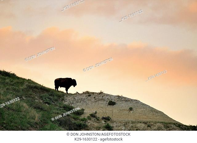American Bison Bison bison Solitary individual on badlands ridge