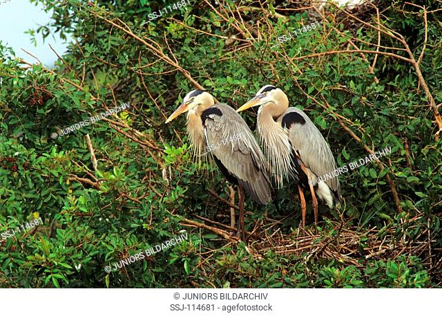 two Great Blue Herons at nest / Ardea herodias