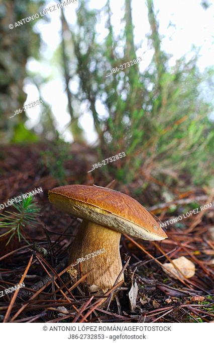 Eatable mushroom. Bolete