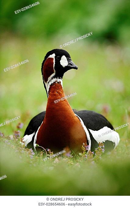 Beautiful bird Red-breasted Goose, Branta ruficollis