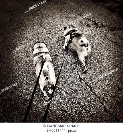 Walking two pugs