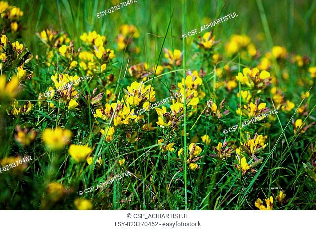 Wild flowers yellow Toadflax (Linaria vulgaris) on a green meado