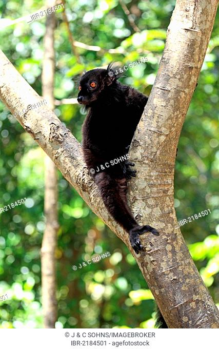 Black Lemur (Eulemur macaco), male adult in a tree, Nosy Komba, Madagascar, Africa