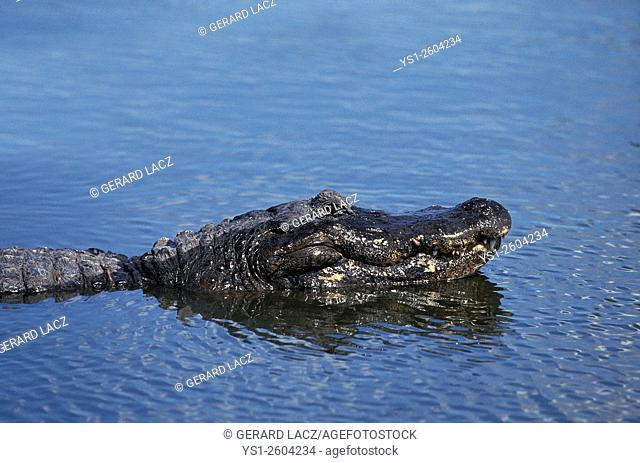 American Alligator, alligator mississipiensis, Head of Adult standing at Surface, Florida