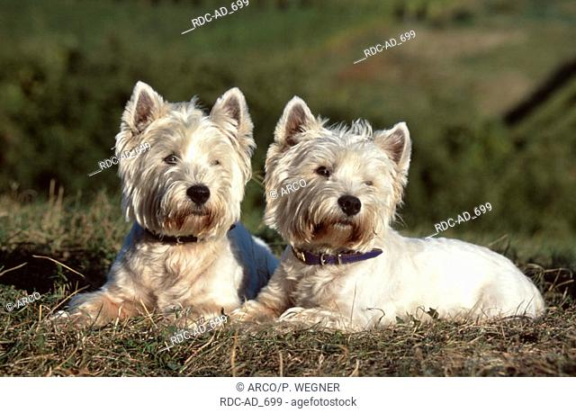 West Highland White Terrier Westie