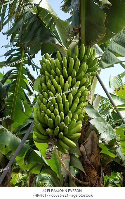 Banana (Musa sp.) crop, close-up of unripe fruit, San Andres, La Palma, Canary Islands, March