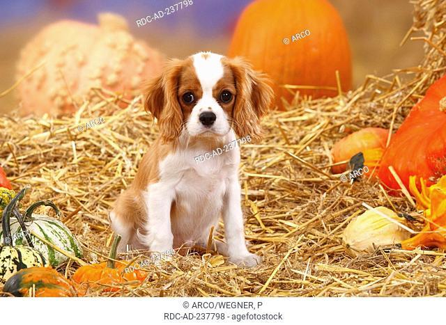 Cavalier King Charles Spaniel, puppy, blenheim, 3 month / straw, pumpkins