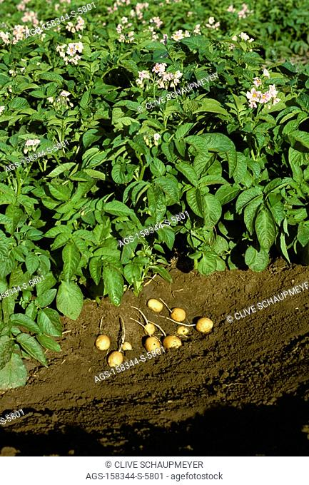 Agriculture - Potato plants in full bloom stage, showing unearthed immature potatoes at the base of one plant / Canada - AB