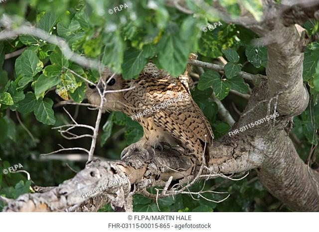 Pel's Fishing Owl (Scotopelia peli) adult, disturbed by boat, peering down at intruder from daytime roost on branch overhanging lake edge, Lake Albert, Uganda