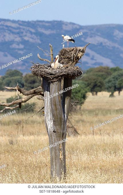 White Storks in frog Cabañeros National Park, Ciudad Real
