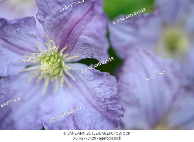stunning display of purple clematis in Summer