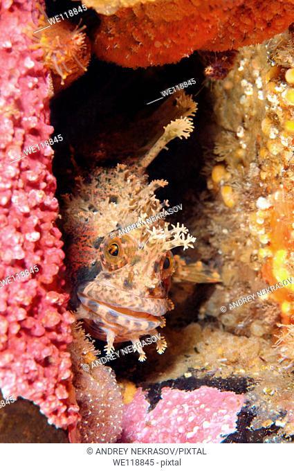 Japanese warbonnet or fringed blenny Chirolophis japonicus  Japan sea, Far East, Primorsky Krai, Russian Federation