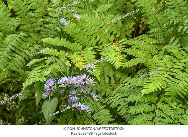 Flowering Purple-stemmed Aster (Symphyotrichum puniceum) and bracken fern fronds, Greater Sudbury, Ontario, Canada