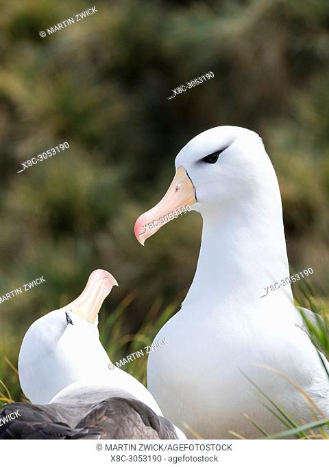 Black-browed albatross or black-browed mollymawk (Thalassarche melanophris), typical courtship and greeting behaviour. South America, Falkland Islands, November