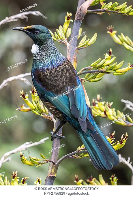 A tui (Prosthemadera novaeseelandiae) is an endemic passerine bird of New Zealand on a flax plant. Whangarei, Northland, New Zealand