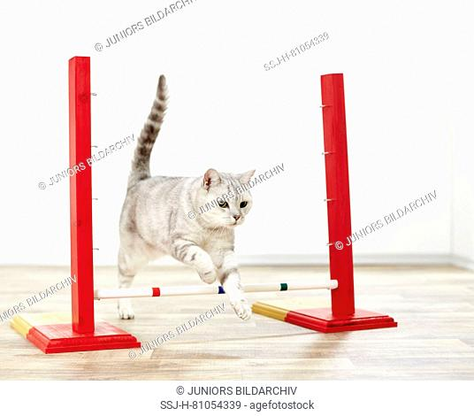 British Shorthair. Gray tabby adult jumping over an obstacle. Germany