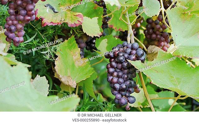 Eine m?nnliche Hand schneidet eine Rebe rote Weintrauben ab. A male hand is cutting a red grape vine