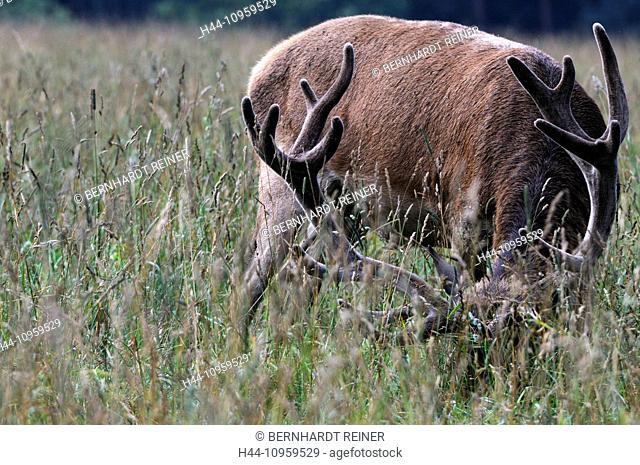 Red deer, antlers, antler, Cervid, Cervus elaphus, deer, stag, stags, hoofed animals, summers, velvet, fat time, Fat, animal, animals, Germany, Europe