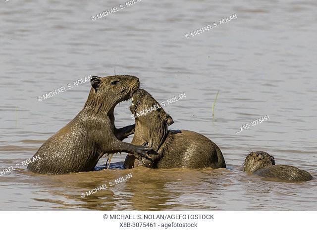 Young capybaras, Hydrochoerus hydrochaeris, at play, Porto Jofre, Mato Grosso, Pantanal, Brazil