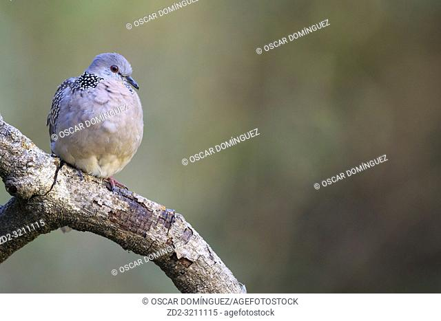 Western Spotted Dove (Spilopelia suratensis) perched on branch. Pangot. Nainital district. Uttarakhand. India