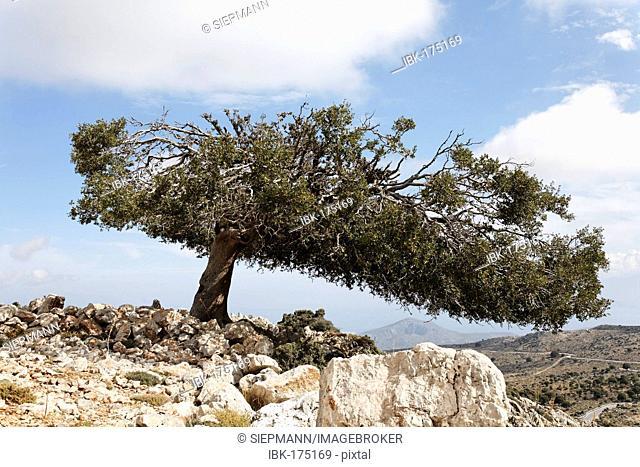Old holm oak (Quercus ilex), Kritsa, Crete, Greece