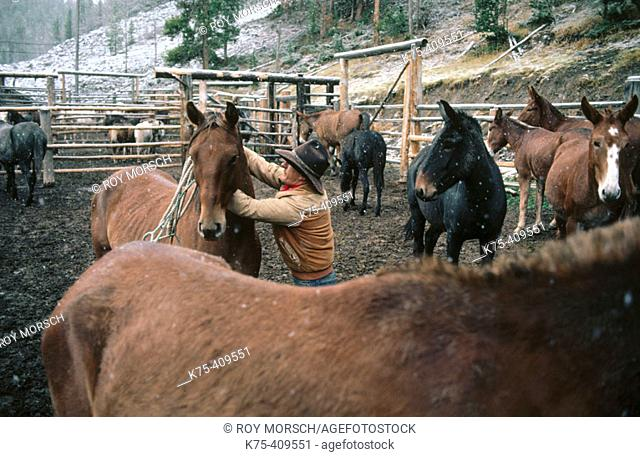 Cowboy in corral of horses