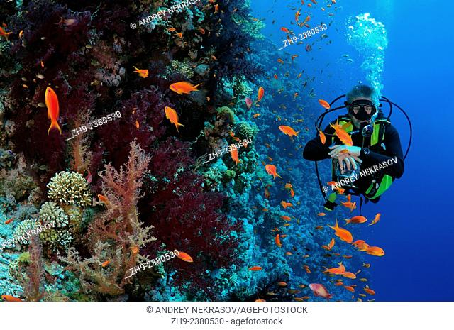 Diver looking at coral reef in Ras Muhammad National Park, Sinai Peninsula, Sharm el-Sheikh, Red sea, Egypt, Africa