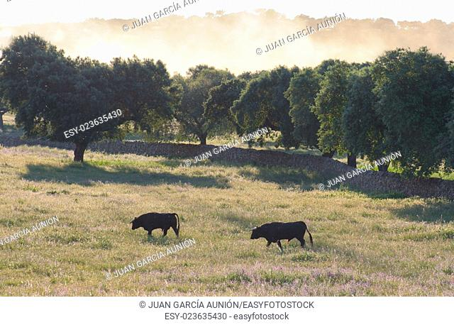 Spanish free range Fighting Bulls breed free-range on extensive estates. Fighting bulls are selected for a certain combination of aggression energy strength and...