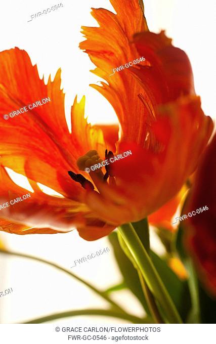 Tulip, Tulipa, Studio shot of orange coloured flower
