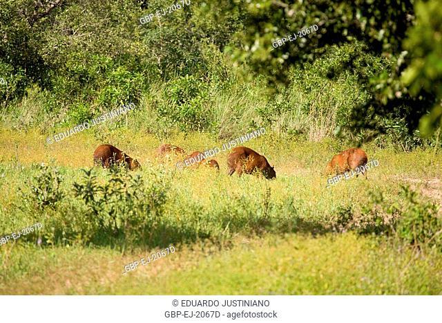 Capybara (Hydrochoerus hydrochaeris), Brazil