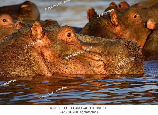 Common hippopotamus or hippo (Hippopotamus amphibius). Lake Naivasha. Naivasha. Great Rift Valley. Kenya