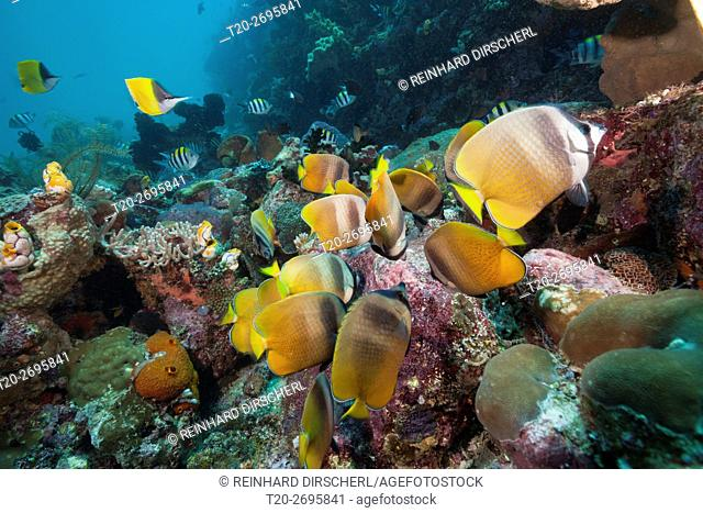 Butterflyfishes feeding on Fish Spawn, Chaetodon kleinii, Ambon, Moluccas, Indonesia