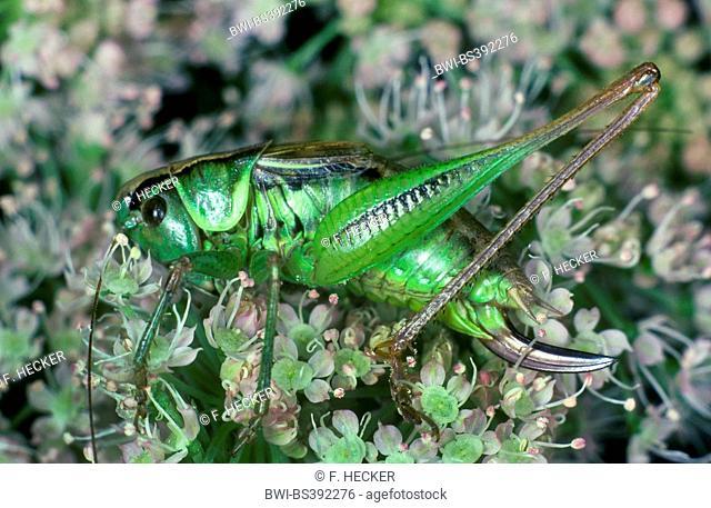 Roesel's bushcricket (Metrioptera roeselii), female, Germany