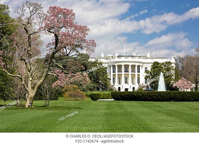 White House South Lawn and Blooming Magnolia Tree