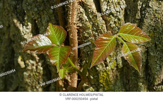 Young reddish-green Poison Ivy (Toxicodendron radicans) leaves sprout from a vine growing on a Black Locust tree in spring