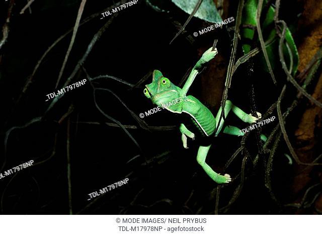 A veiled chameleon, Chameleon calyptratus