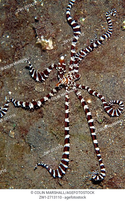 Wunderpus Octopus (Octopus photogenicus) with extended tentacles on black sand, Bulakan dive site, Seraya, Bali, Indonesia