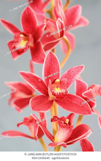 pink cymbidium orchid highly decorative flower spikes - joyful energy