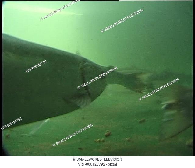 trout in tank on farm, MCU. Cardigan Bay, Wales, United Kingdom