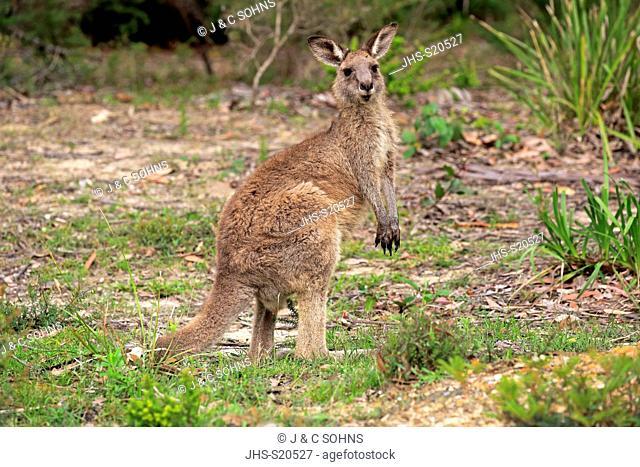 Eastern Grey Kangaroo, (Macropus giganteus), adult alert, Merry Beach, Murramarang Nationalpark, New South Wales, Australia