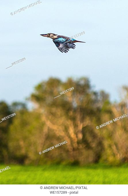 Kookaburra in flight over Yellow Water Wetlands. Cooinda, Kakadu National Park, Northern Territory, Australia
