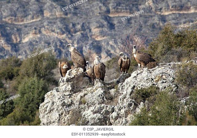 Vultures in las Hoces del Duraton, Segovia, Spain