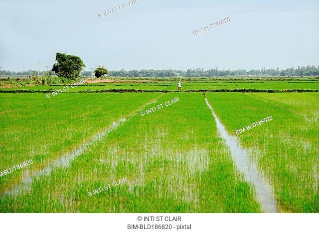 Farmer walking in rural rice field