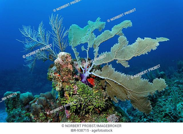 Coral reef or barrier reef alive with Sea Fan coral (Gorgonia flabellum), Halimeda Algae (Halimeda s.) and a variarty of other different colored corals and seas...
